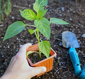 как правильно выращивать рассаду перца