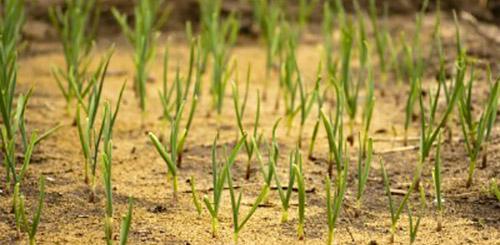 Мульчирование почвы опилками
