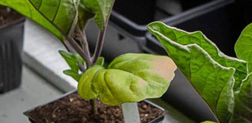 Выращивание рассады баклажанов: проблемы и решения