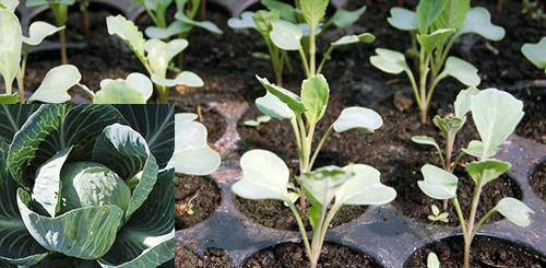Холодостойкость различных капуст