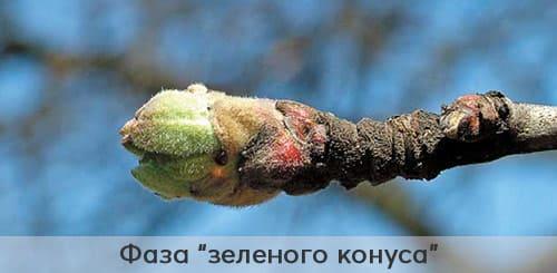 Яблоня в фазе зеленого конуса