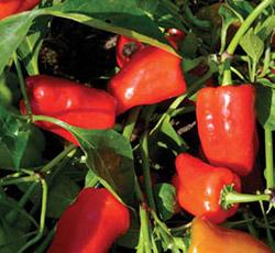 Оптимальный способ выращивания перцев