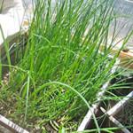 Как вырастить зелень из многолетних луков