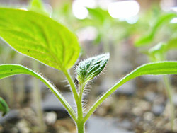 выращивание рассады томатов без земли