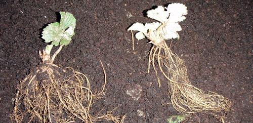 Корни рассады земляники