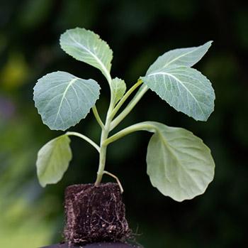 как вырастить рассаду капусты в квартире