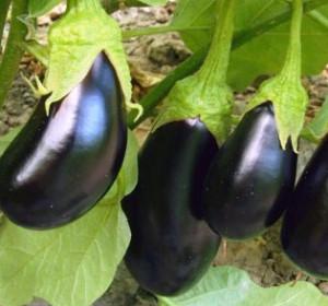 как получить хороший урожай баклажанов