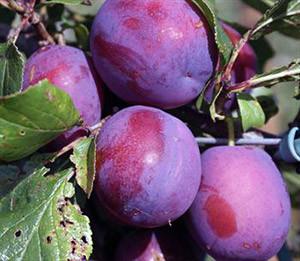 как получить хороший урожай сливы