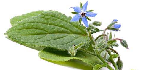 Выращивание ранней зелени: бораго