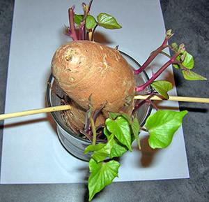 Выращивание батата в средней полосе