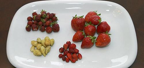 Как получить хороший урожай клубники: сорта