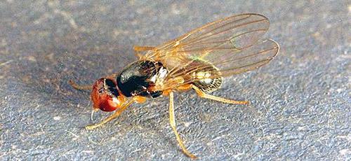 Так выглядит морковная муха