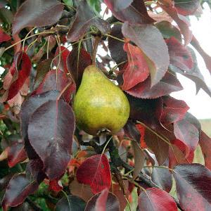 причины покраснения листьев у груш