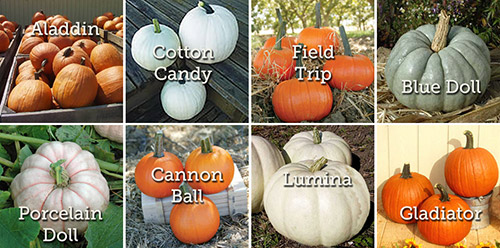 Выращивание тыквы: выбор сорта