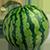Расстояние между растениями арбуза
