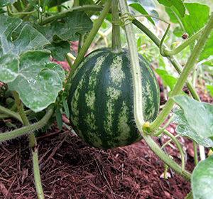 Как вырастить арбузы в средней полосе