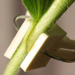 как прививать арбуз на лагенарию