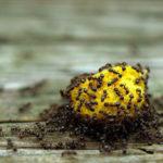 как избавиться от муравьев на участке