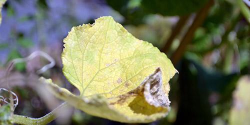 Желтые листочки на огурцах