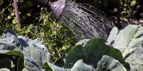 Как поливать капусту и когда
