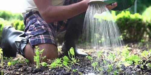 Как полить морковь