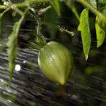 как правильно поливать помидоры
