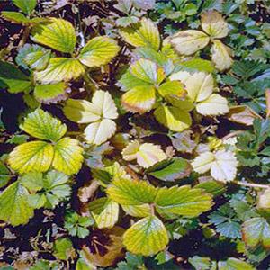 почему желтеют листья клубники