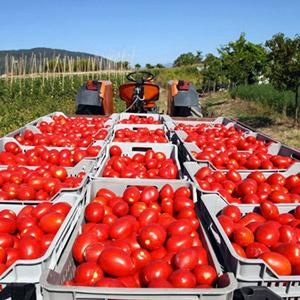 как увеличить урожай томатов