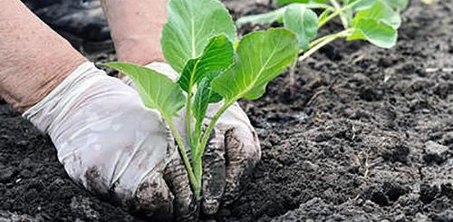 благоприятные дни для высадки капусты