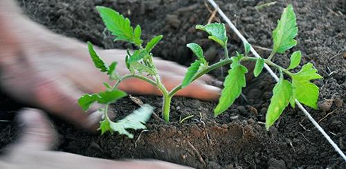 благоприятные дни для высадки рассады помидоров
