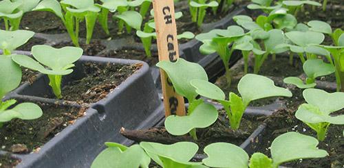 Выращивание пекинской капусты, все о пекинской капусте, секреты урожая