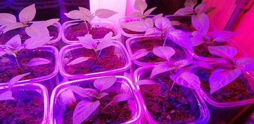 выращиваем перцы через рассаду