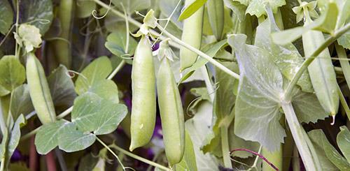 Какие овощи проще всего выращивать
