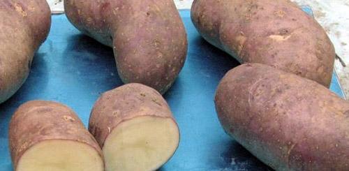 Самые рассыпчатые сорта картофеля: Фото 1