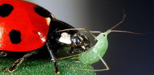 Как защитить растения от тли