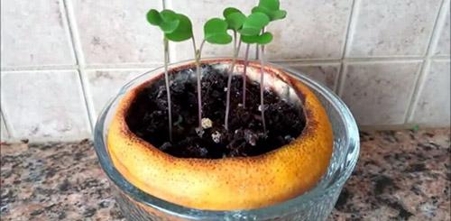 Выращивание рассады в апельсиновой корке