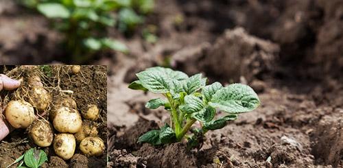Картофель и низкие температуры