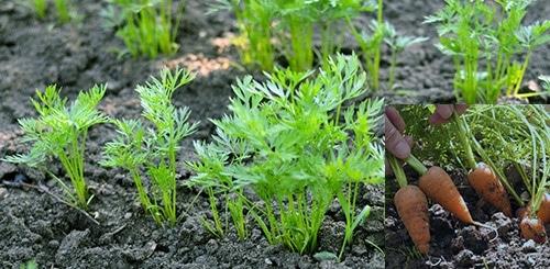 Морковь сажаем рано весной