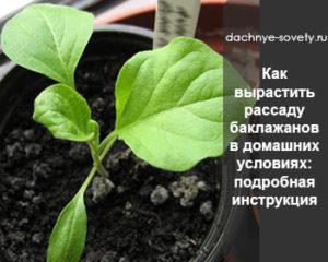 как выращивать рассаду баклажанов
