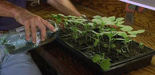 Как поливать рассаду баклажанов