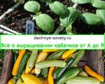 как вырастить кабачок
