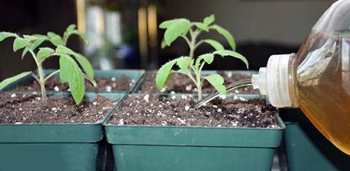 В каких случаях рассаде нужна подкормка