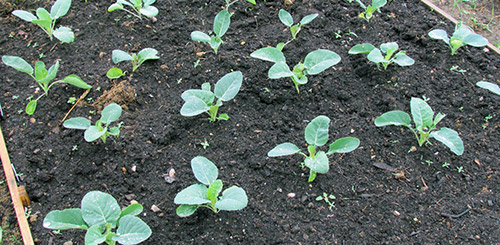 Высадка рассады цветной капусты в открытый грунт