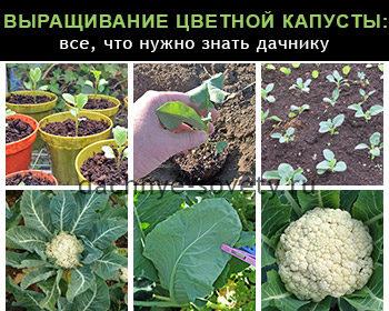 как вырастить цветную капусту на даче