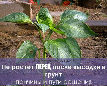 перец не растет после высадки