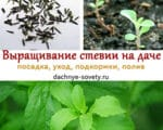 Выращивание стевии в Средней полосе