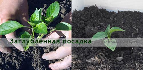 Перец не растет из-за нарушения агротехники