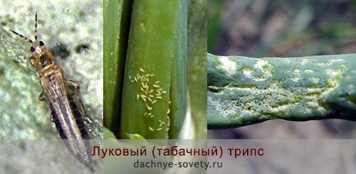 Борьба с вредителями на луке