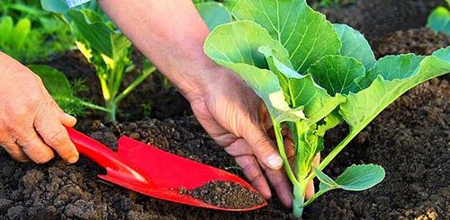 Подкормка белокочанной капусты в открытом грунте
