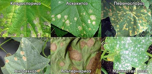 Болезнь огурцов - желтые пятна на листьях